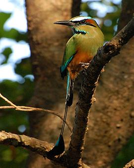 Turquoise-browed motmot, Foto: source: Wikicommons unter CC