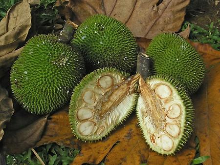Jack Fruit, Foto: source: Wikicommons unter CC