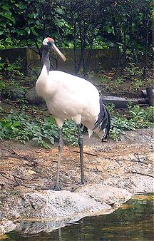 Red-crowned crane, Foto: source: Wikicommons unter CC