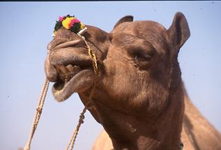 Decorated Camel (5)