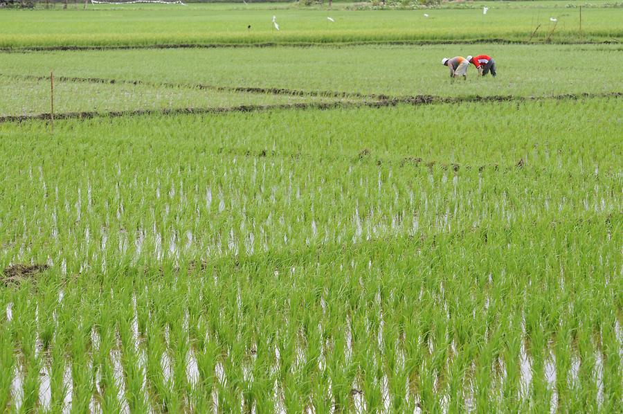 Rice fields near Batuan