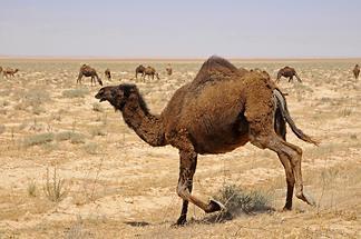 Camels (2)