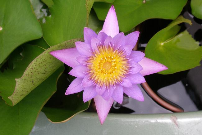A water lily