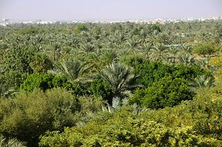 Al Ain Oasis (1)