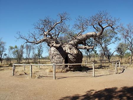 Boab Tree, Foto: source: Wikicommons unter CC