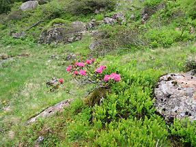 Alpine Rododenron