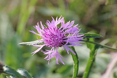 Knapweed, Foto source: PixaBay