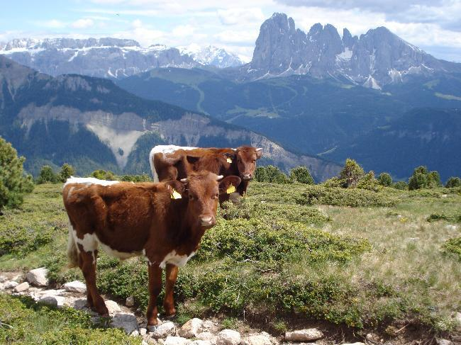 Italian cattle in the Dolomites