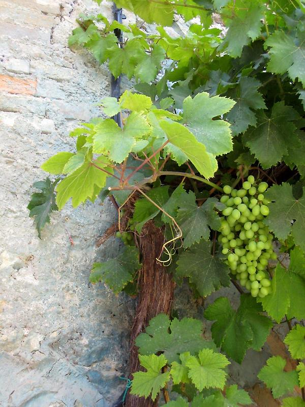 Grapevine in the town of San Giovanni