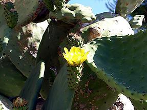 Carmona Roman Necropolis Cactus Flower