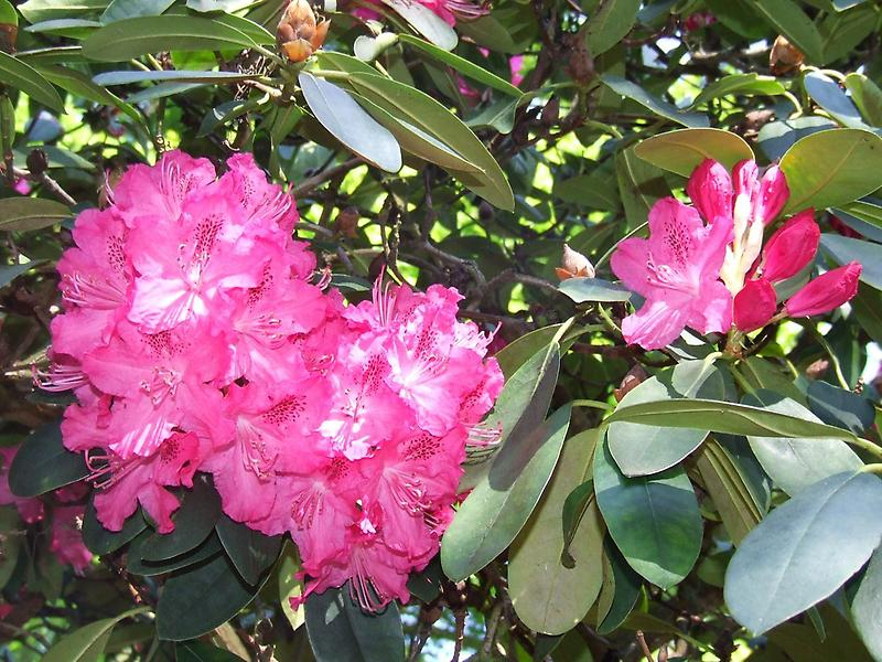 Rhododendron Blossoms (3)