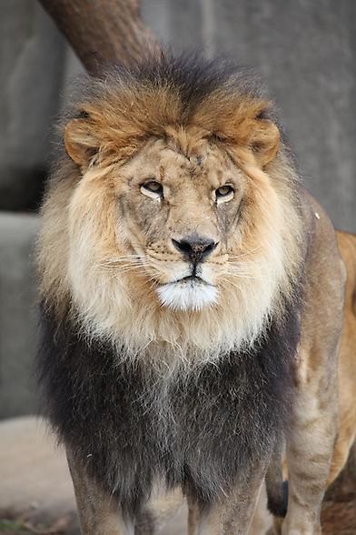 Lion, Foto: source: Wikicommons unter CC