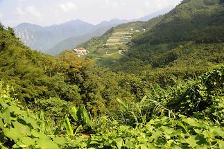 Tea Plantation Alishan (1)