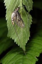 Ephemera danica - Große Eintagsfliege