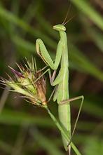 Mantis religiosa - Europäische Gottesanbeterin, Männchen (3)