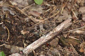 Oedipoda caerulescens - Blauflügelige Ödlandschrecke, Weibchen