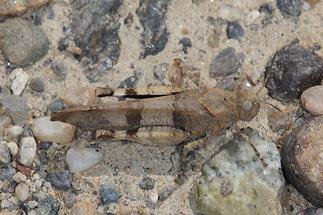 Oedipoda caerulescens - Blauflügelige Ödlandschrecke, hkbs