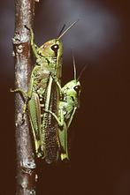 Stethophyma grossum - Sumpfschrecke (1)