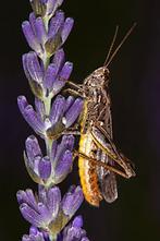 Stenobothrus rubicundus - Bunter Alpengrashüpfer