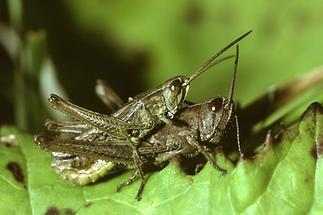 Chorthippus dorsatus - Wiesengrashüpfer, Paar
