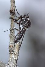Leptarthrus brevirostris - Echte Schneidenfliege, Männchen