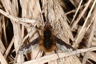 Bombylius major - Großer Wollschweber (1)