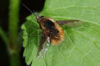 Bombylius major - Großer Wollschweber (2)