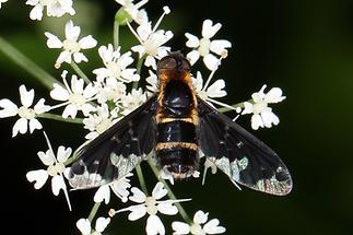Hemipenthes maura - Trauerschweber (1)