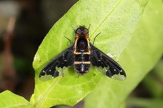 Hemipenthes maura - Trauerschweber (2)