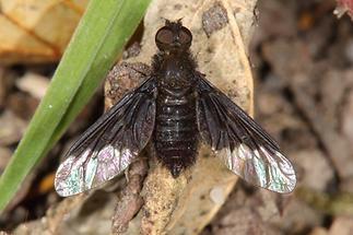 Hemipenthes morio - kein dt. Name bekannt
