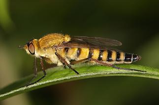 Thereva nobilitata - Gewöhnliche Stilettfliege (1)