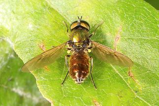 Chloromyia formosa - Grünglänzende Waffenfliege (2)