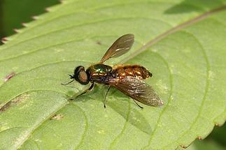 Chloromyia formosa - kein dt. Name bekannt, Männchen