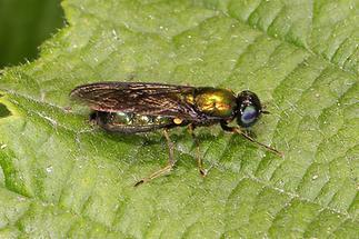 Chloromyia formosa - kein dt. Name bekannt, Weibchen