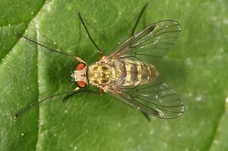 Chrysopilus aureatus - Goldfarbene Fliege, Weibchen