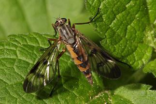 Rhagio scolopaceus - Gemeine Schnepfenfliege (2)