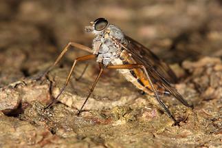 Rhagio scolopaceus - Gemeine Schnepfenfliege (3)
