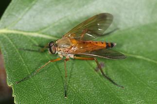 Rhagio tringarius - Goldgelbe Schnepfenfliege (1)