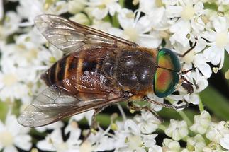 Hybomitra montana - kein dt. Name bekannt, Männchen