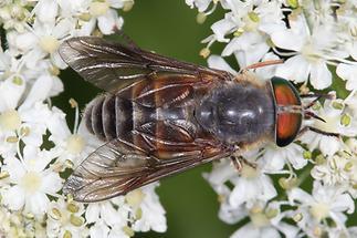 Hybomitra montana - kein dt. Name bekannt, Weibchen (1)