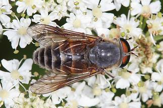 Hybomitra montana - kein dt. Name bekannt, Weibchen (2)