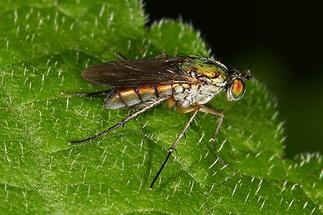 Dolichopus ungulatus - kein dt. Name bekannt (1)