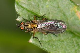 Dolichopus ungulatus - kein dt. Name bekannt (2)