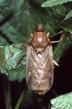 Coenomyia ferruginea - Stinkfliege (1)