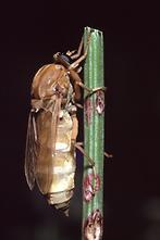 Coenomyia ferruginea - Stinkfliege (2)