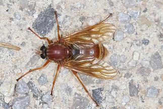 Coenomyia ferruginea - Stinkfliege, Weibchen