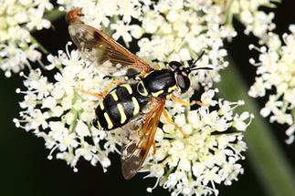 Chrysotoxum arcuatum - Späte Wespenschwebfliege, auf ... sitzend