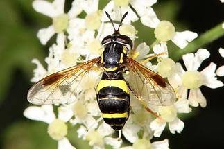 Chrysotoxum bicinctum - Zweiband-Wespenschwebfliege, auf Dolden sitzend