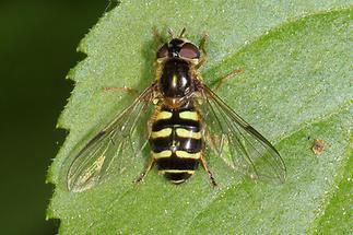 Dasyrphus venustus - Gemeine Waldschwebfliege, Weibchen (1)