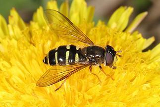 Dasyrphus venustus - Gemeine Waldschwebfliege, Weibchen (3)